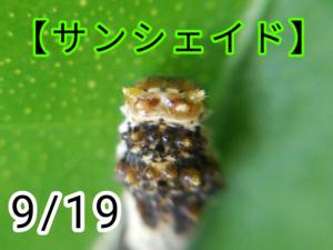 サンシェイド(アゲハチョウ)写真10