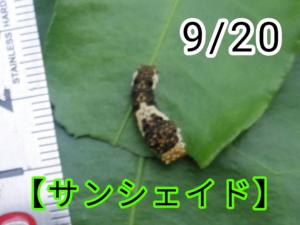 サンシェイド(アゲハチョウ)写真12