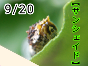 サンシェイド(アゲハチョウ)写真13