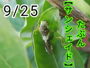サンシェイド(アゲハチョウ)写真15