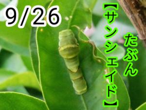 サンシェイド(アゲハチョウ)写真16