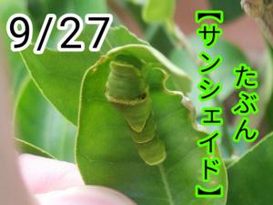 サンシェイド(アゲハチョウ)写真17