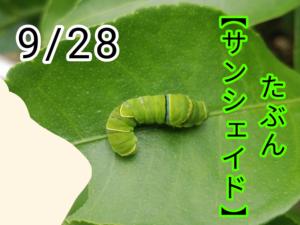 サンシェイド(アゲハチョウ)写真18