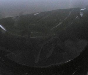 黒三種メダカ F1 ④