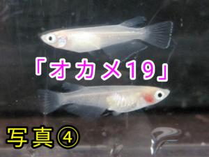 「オカメ19」メダカ ②