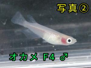 オカメメダカ F4 ②