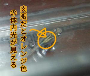 「梵灯19」メダカ ③