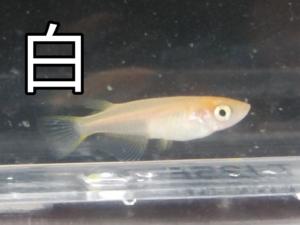 <白色>水槽の赤虎メダカ F3