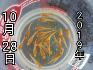 被験魚の赤虎メダカ F3 の20匹