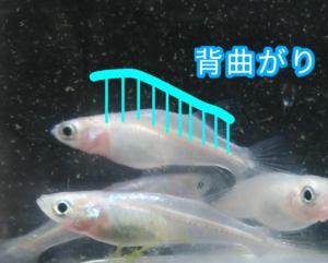 青光ダルマメダカ F6 ③