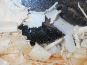 黒酢くん(コクワガタ)