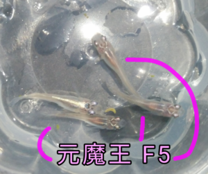 元魔王メダカ F5 ⑥