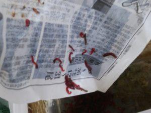 新聞紙に残る赤虫