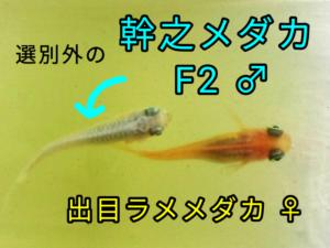 出目ラメメダカと幹之メダカ F2