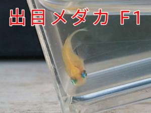 出目メダカ F1 ③