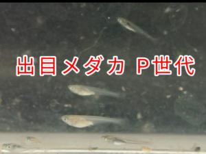 出目メダカ P 世代