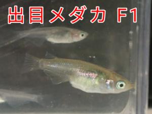 出目メダカ F1 ②