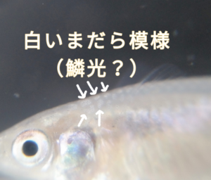 ネオ・オカメメダカ ③