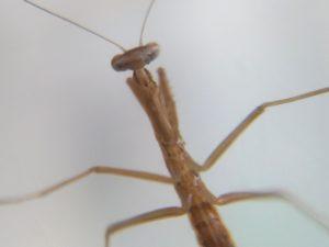カマキリの幼虫 ②