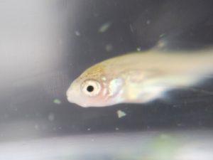 フナの稚魚 ③