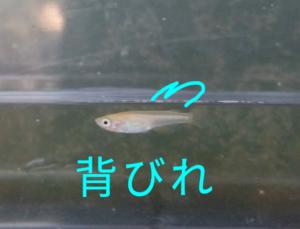 楊貴妃メラーメダカ F1 ②