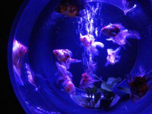 金魚コレクション ③