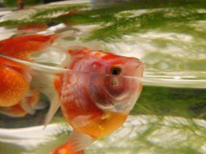 金魚品評 ③
