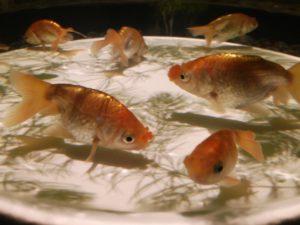 金魚品評 ⑬