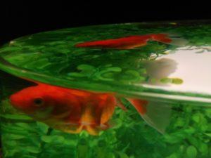 金魚品評 ⑰