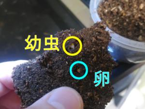 ノコギリクワガタの幼虫&卵