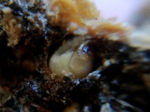 ブラウニー(土の塊)の中にいたノコギリクワガタの幼虫