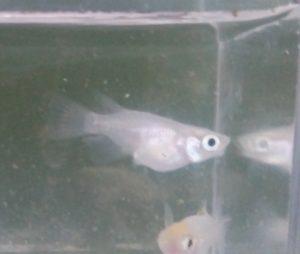 青光ダルマメダカ F6 の凸顎個体