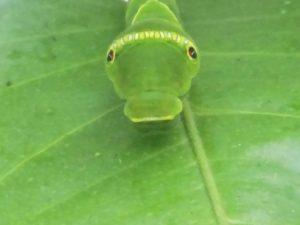 アゲハチョウの幼虫(オーニング)②