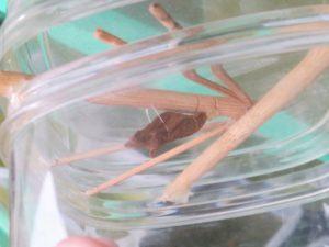 アゲハチョウの蛹(サンシェイド)