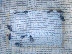 フタホシコオロギ