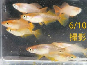 「レモンパイ19」メダカ P ②