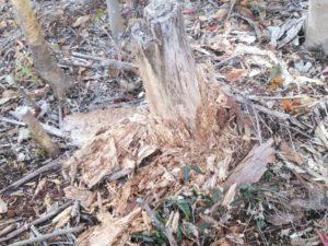 海部城にあった朽ち木