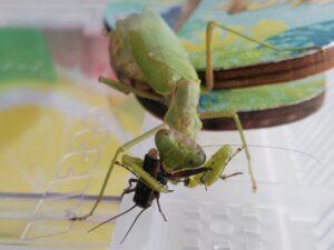 フタホシコオロギを食べるハラビロカマキリ(ちんすこう)