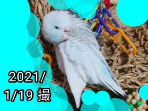 あめちゃん(マメルリハ)