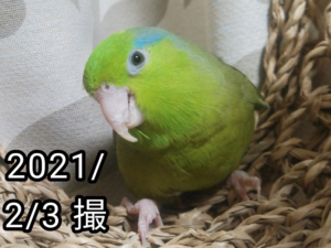 マメちゃん(マメルリハ)