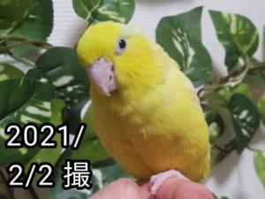 レモンちゃん(マメルリハ)