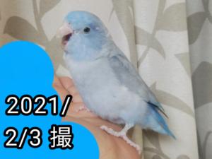 チコちゃん(マメルリハ)