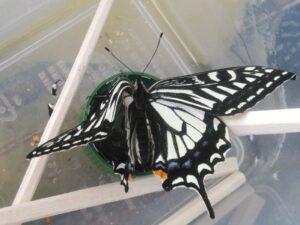 左の翅にクセの付いたアゲハチョウ ②