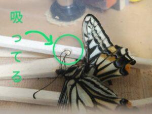 アゲハチョウの介護 ②