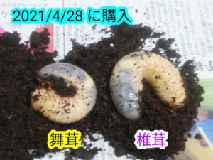 お迎えしたカブトムシの3令幼虫