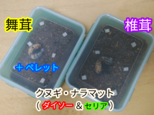 舞茸と椎茸の飼育容器(カブトムシの幼虫飼育)