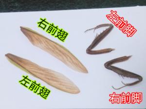 乾燥後の前脚&上翅(オオカマキリ)