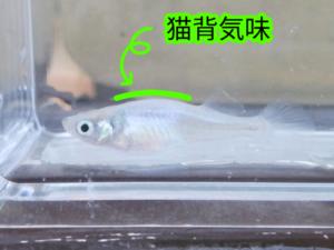 青光ダルマメダカ F7
