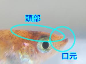 赤虎メダカ F4 ⑪