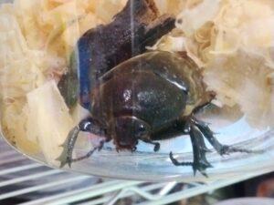 地元の雑木林で採集したカブトムシのメス